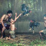 Bermain Judi Sabung Ayam Online Taruhan Terbaik