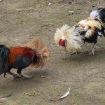 Keuntungan Bermain Sabung Ayam S128